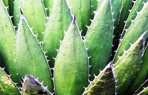 Mexcellence Travel Agave